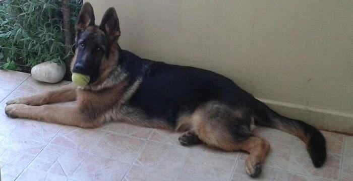 tutto quello che non sai sul cane da pastore tedesco - passion blog